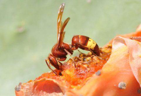vespa-orientalis-by-zeynel-cebeci-wikipedia-jpg