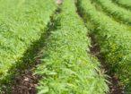 canapa-cannabis-sativa-by-andris-t-fotolia-750