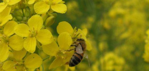 ape-colza-fiori-by-cecilia-costa-crea-jpg