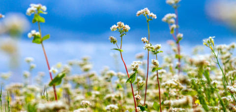 Blooming buckwheat field under the summer sky with clouds