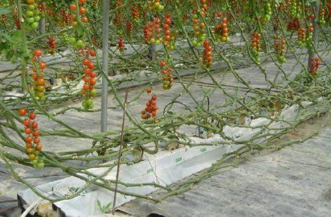 colture-orticole-pomodoro-fuori-suolo-byantesia-750