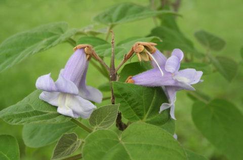 fiori viola di Paulonia. Paulonia tormentosa. albero in fiore.