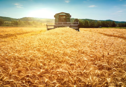 Harvester machine to harvest wheat field working